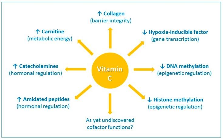 The enzyme cofactor activities of vitamin C
